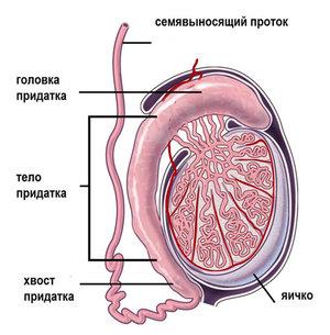 Воспаление яичка - причины болезни