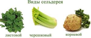 Виды сельдерея и особенности выращивания