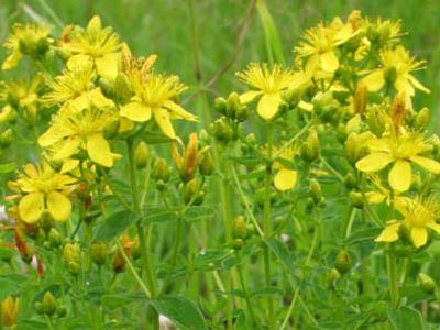 Зверобой трава лечебные свойства и противопоказания для женщин