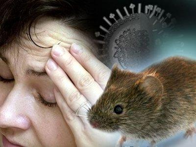 Как проявляется мышиная лихорадка у взрослых