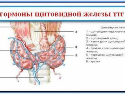 kak-vliyaet-na-seksualnost-zhenskiy-organizm-eutiroks